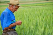 foto of gleaning  - the old farmer examines the quality of the wheat - JPG