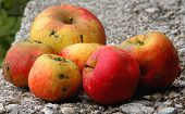 Six Ugly Autumn Apples