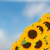 bight sunflowers ob blue sky