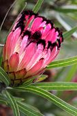 Protea Burchellii, Little Ripper