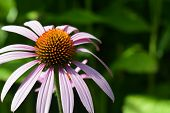 Echinacea - purple cone flower bloom close up