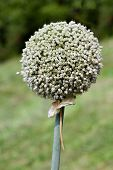 Ball of Garlic Seed Flower