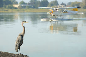 picture of float-plane  - A Great Blue Heron watches a float plane taxi on the Fraser River beside the Vancouver International Airport  - JPG