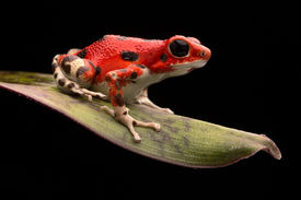 pic of poison arrow frog  - Red strawberry poison dart frog - JPG