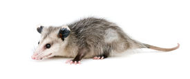 picture of opossum  - Young common opossum isolated on white background - JPG