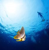 stock photo of bottomless  - Underwater shot of bright batfish  - JPG