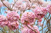foto of trumpet flower  - Sweet pink trumpet flower blooming on tree - JPG
