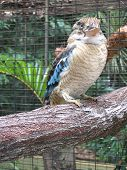 stock photo of blue winged kookaburra  - At the Cairns Tropical Zoo - JPG