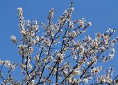 Branches Laden With Flowers Of A Beautiful Blossoming Cherry Tree