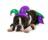 a cute boston terrier with a jester hat on