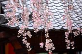 foto of weeping  - Japanese wooden house with weeping sakura - JPG