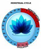 image of menstruation  - Menstrual cycle chart average twenty eight menstrual cycle days menstruation and ovulation - JPG