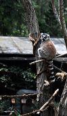 Lemur at the Prague Zoo, Czech Republic