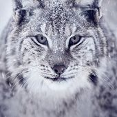 Lynx looking into camera