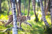 stock photo of sneak  - Eurasian lynx sneaks or stalking in the green forest.