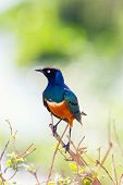 Superb Starling bird in Tanzania