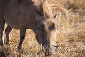 Wart hog in Ngorongoro