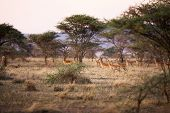 Gazelles in Serengeti