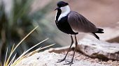 spur-winged plover shore bird