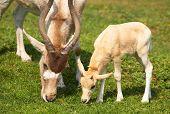 Mendes-antelope