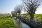 Row of pollard willows along a ditch in winter