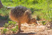 Ostrich Chic