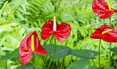 Anthurium Flower In Botanic Garden (anthurium Andraeanum, Araceae Or Arum)