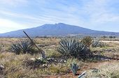 Blue Agave Harvesting Fields And Tequila Volcano