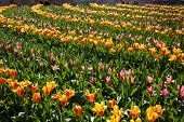Flowers in Keukenhof park, Netherlands, also known as the Garden of Europe, is the world's largest flower garden.