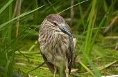 Juvenile Black-Capped Night Heron