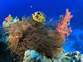 Coral Reef Scene with Anemone and Nemo fish