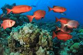 picture of bigeye  - Fish School - JPG