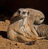 Meerkats Relaxing