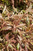 Acalypha Plant With Hairy Reddish Green Leaves Background