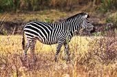 portrait of zebra in zambia park