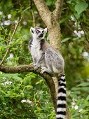 Lemur kata sitting on branch in bushy vegetation