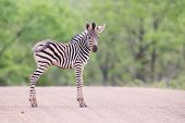 Small Zebra Foal Standing On Road Alone Looking For His Mother
