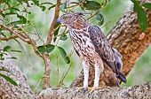 Crested Hawk Eagle At Wilpattu National Park