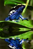 picture of poison arrow frog  - Poison dart frog Dendrobates tinctorius with reflection - JPG