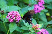 Butterfly Eastern Black Swallowtail on pink flowers