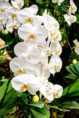 Beautiful white orchids in a garden