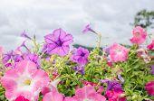 stock photo of petunia  - Petunia or Petunia Hybrida Vilm in the garden or nature park - JPG