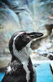 African Penguin Closeup