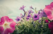 pic of petunia  - Petunia or Petunia Hybrida Vilm in the garden or nature park vintage