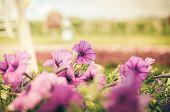 Violet Petunia Or Petunia Hybrida Vilm Vintage