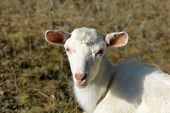 White Goat On A Summer Pasture