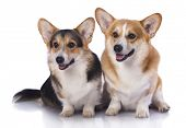 image of corgi  - Welsh Corgi Pembroke dog - JPG