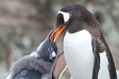 Gentoo Penguin Chick Begging For Food From That Of An Adult Bird
