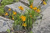 Lilies On Stones