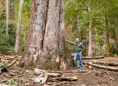 picture of retort  - The largest eucalyptus in Galicia Spain - JPG